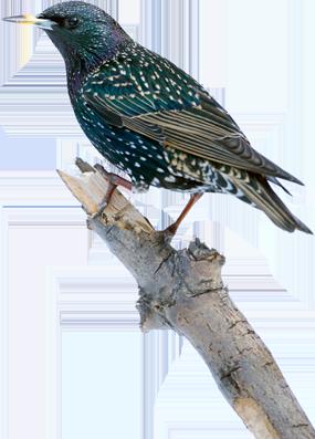 bird removal rochester NY