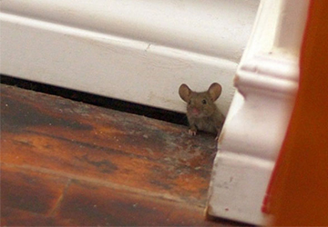 mouse exclusion rochester NY