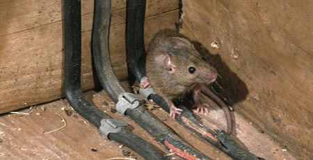damaged electric wiring from mice - mouse exclusion rochester NY